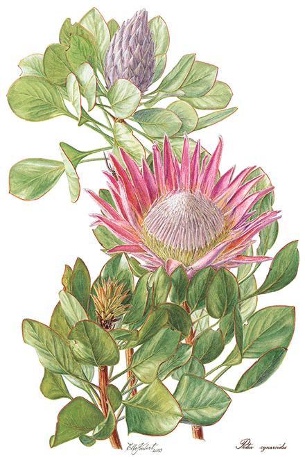 Elbe-Domrose---Protea-cyneroides520x360.png