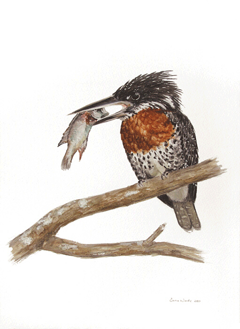Erna-Wade---Giant-Kingfisher.png