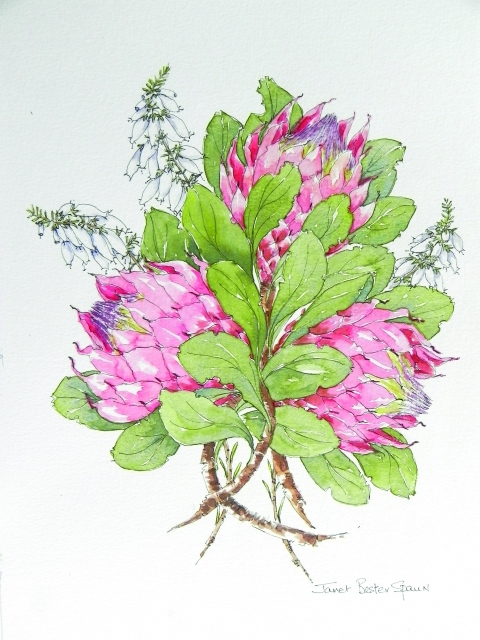 Pg 2 - Janet Bester Spaun - King Proteas - watercolour pen and ink_640x480_100quality_26.10.2014.jpg